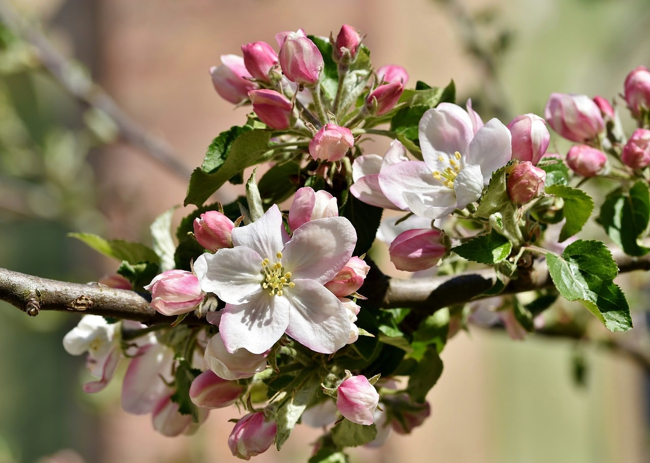 Significado de la flor de manzana