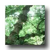 Significado Celta de los Árboles Simbólicos y Antiguo Druida Significado Ogham